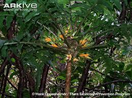 hawaiian cyanea tree photos and facts cyanea magnicalyx