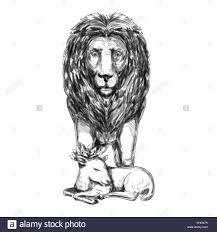 sketch of lion head stock photos u0026 sketch of lion head stock