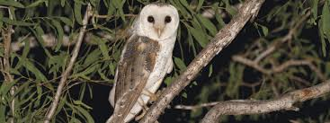 Where Do Barn Owls Live Owl