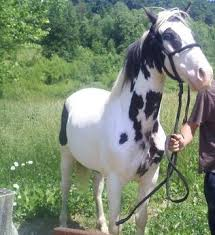 american paint horse petmd