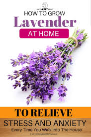 Most Fragrant Lavender Plants Growing Lavender Indoors To Feel Relaxed Every Time You Come Home