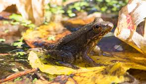 where do frogs and toads go in the winter