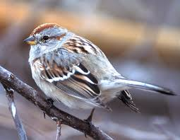 Sparrow by American Tree Sparrow Mdc Discover Nature