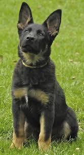 belgian shepherd temperament free images grass puppy black german shepherd vertebrate