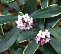 Flower Shrubs For Shaded Areas - top 10 evergreen shrubs thompson u0026 morgan
