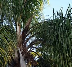 Canopy Synonyms by Syagrus Romanzoffiana Identifying Commonly Cultivated Palms