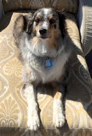 australian shepherd rescue san diego and friends courtesy listings u2013 aussie rescue socal
