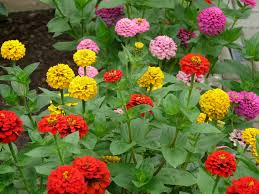 Marigolds Shade by Zinnias How To Plant Grow And Care For Zinnia Flowers The Old