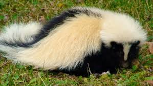 white with black stripe skanky skunks pinterest
