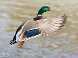 about mallard ducks thinglink