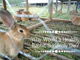 common causes of sudden death in healthy rabbits pethelpful