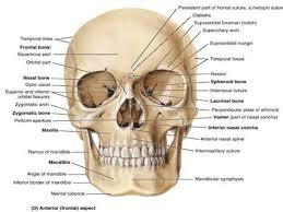 Human Jaw Bone Anatomy 1 Osteology Of The Skull Cranium