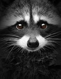 Evil Raccoon Meme - evil raccoon meme meme and quote inspirations