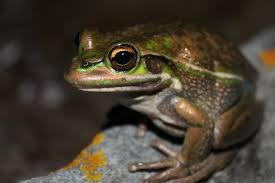 keith gisser frogs are green