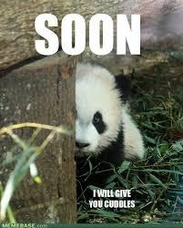 Panda Meme - cuddles 3rd panda meme by pandamunchr on deviantart