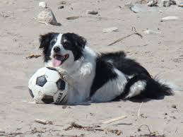 australian shepherd b c three bcs and a jrt bc soccer handed down to the next generation