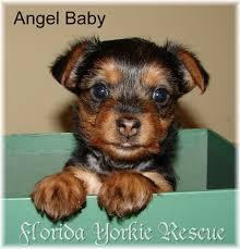 affenpinscher puppies florida adoptable for adoption