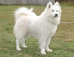 american eskimo dog forum between samoyed and eskimo pets nigeria