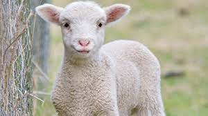 petition sheep farmer save emily from slaughter insist farmer