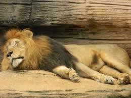 file sleeping male lion at riverbanks zoo jpg wikimedia commons