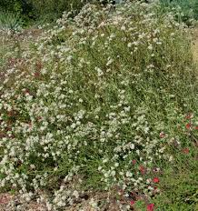 native southern california plants buckwheats june bee plant of the month the bee gardener anr blogs