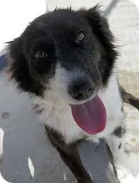 australian shepherd mix with border collie border collie australian shepherd mix puppy for adoption in fort