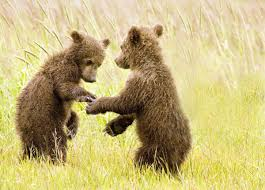 Home Interior Bears by 11 Photos Of Affectionate Animals U S Department Of The Interior