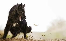 belgian sheepdog for sale groenandael belgian shepherd puppies breed information u0026 puppies