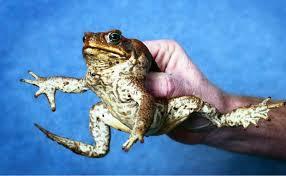 How To Get Rid Of Cane Toads In Backyard Eeeek It U0027s Toad Season Queensland Times