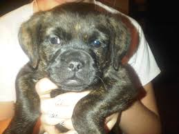 pug x boxer dog woofs wiggles n wags