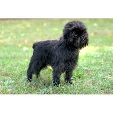 affenpinscher white affenpinscher dog breeds dog com