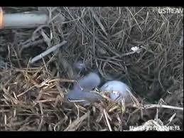 Nest Home Decor Oaks Pa Raptor Resource Project Blog March 2012