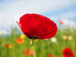 free stock photos of poppies pexels