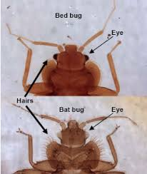 Can Bed Bugs Kill You Can You Crush And Kill Bed Bugs
