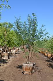 wholesale desert and drought tolerant trees by western tree
