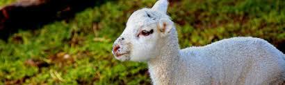 sheep farm tour visit wilderness lodge arthur u0027s pass