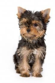212 best yorkshire images on pinterest animals yorkies and