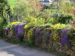 plant aubretia into the cracks of a stone wall this is a
