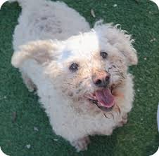 bichon frise dogs for adoption bichon frise mix dog for adoption in san pablo california chip