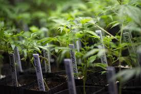 baby marijuana plants growing the daily chronic