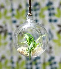 glass globe hanging spider plant terrarium kit chlorophytum