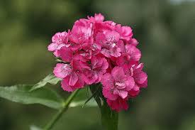 Birth Flower Of January - image gallery of january birth flower carnation