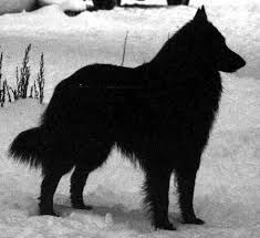 belgian sheepdog merchandise 7 best tattoo thoughts images on pinterest the sheepdogs