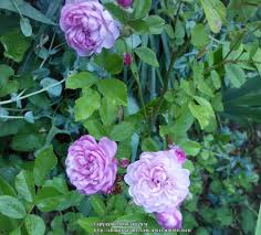 photo of the bloom of rose rosa u0027vineyard song u0027 posted by zuzu