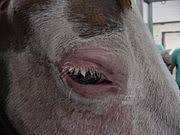 Are Horses Color Blind Equine Vision Wikipedia