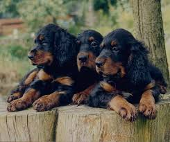 49 best gordon setter and gifts images on dogs