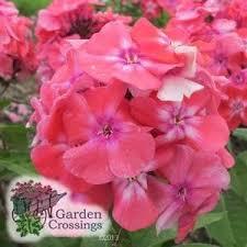 phlox flower phlox girl buy phlox garden perennials online