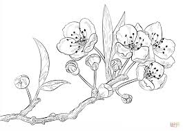 coloring download apple blossom coloring page apple blossom