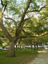 gorgeous trees picture of charleston coastal south carolina