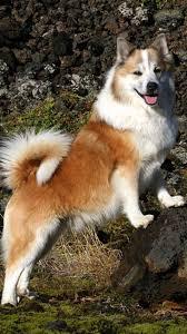 australian shepherd 8 wochen 17 best ideas about finnischer lapphund on pinterest